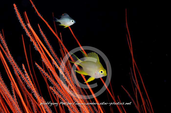 Amblyglyphidodon aureus und  Ellisella ceratophyta, Goldener Riffbarsch in Besengorgonie, Golden damselfish in red whip coral, Pemuteran, Bali, Indonesien, Asian, Indopazifik, Indonesia, Indo-Pacific Ocean, Asia