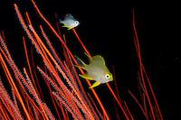 Amblyglyphidodon aureus und  Ellisella ceratophyta, Goldener Riffbarsch in Besengorgonie, Golden damselfish in red whip coral, Pemuteran, Bali, Indonesien, Asian, Indopazifik, Indonesia, Indo-Pacific Ocean, Asia
