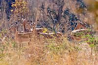 africa, Zambia, South Luangwa National Park,  Oribi