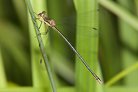 Swamp Spreadwing (Lestes vigilax) Damselfly - Female, Promised Land State Park, Greentown, Pike County, Pennsylvania