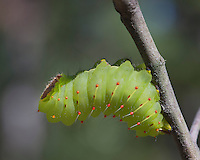 Polyphemus Moth caterpillar; Antheraea polyphemus; Polyphemus Moth caterpillar; Antheraea polyphemus; green; lime; larva; instar; Lepidoptera; silk moth; NJ, Pine Barrens, White's Bog