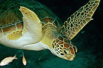 Chelonia mydas, Green sea turtle, Florida Keys