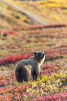 Grizzly bear on the autumn colored tundra in Highway pass in Denali National Park, Alaska.