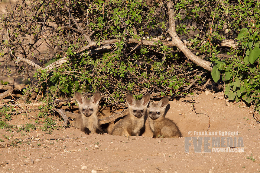 Bat-eared Fox (Otocyon Megalotis)...Pups at a den...Mashatu Game Reserve..Tuli block, Botswana..November 2010.