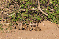 Bat-eared Fox (Otocyon Megalotis)...Pups at a den...Mashatu Game Reserve..Tuli block, Botswana..November 2010.