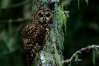 Spotted Owl (Strix nebulosa). Gifford-Pinchot National Forest, Washington.