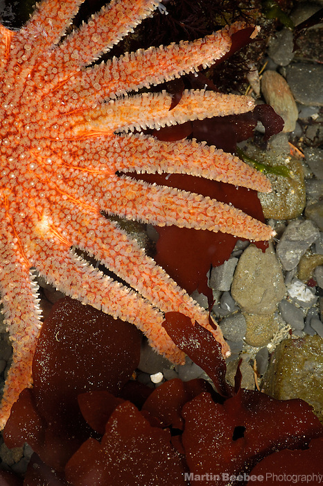 A sunflower star (Pycnopodia helianthoides) rests among brown kelp in a tide pool near Crescent City, California
