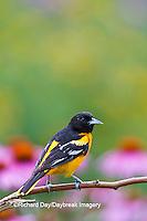 01611-09612 Baltimore Oriole (Icterus galbula) male on perch post near flower garden, Marion Co. IL