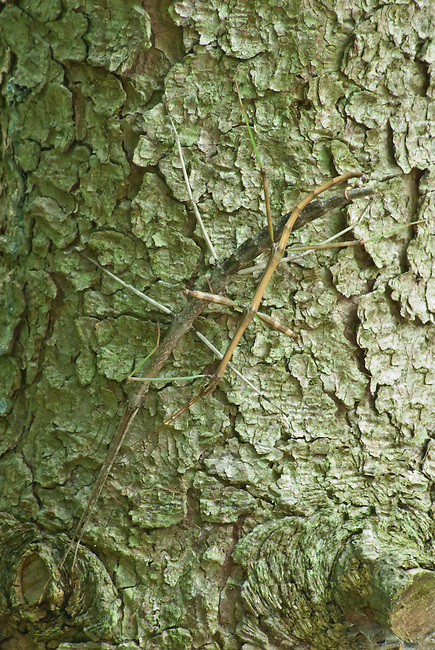 Walking Sticks blend into tree bark to camouflage their presence, Environmental Learning