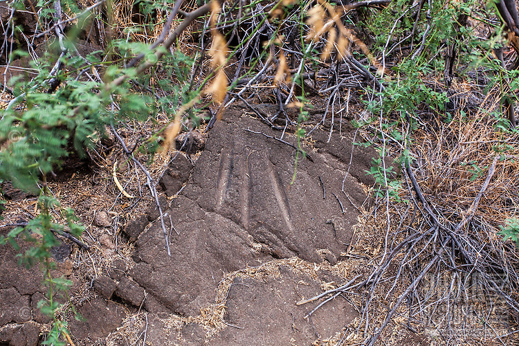 A Hawaiian petroglyph or ki'i pohaku at Puako Petroglyph Park, Big Island.