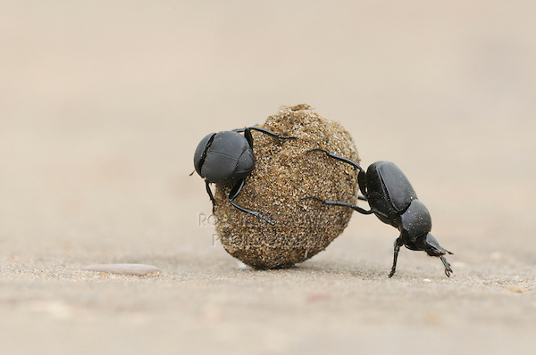 Dung Beetle (Scarabaeinae), adults rolling dung ball,  Laredo, Webb County, South Texas, USA