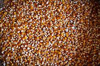Venda Nova do Imigrante_ES, Brasil...Detail de graos de milho...Detail of crops grains. ..Foto: LEO DRUMOND / NITRO