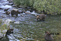 A photo of a group of 6 grizzlies salmon fishing in a stream in Katmai's National Park. Grizzly Bear or brown bear alaska Alaska Brown bears also known as Costal Grizzlies or grizzly bears