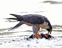 Adult peregrine falcon eating