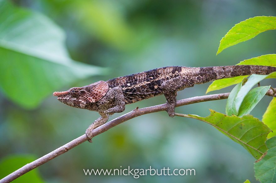 Male Short-horned Chameleon (Calumma brevicorne) actively foraging. Andasibe-Mantadia NP, Madagascar.