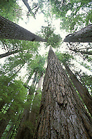 Lookup up to tops of trees in old growth forest, Mount Rainier National Park, Washington