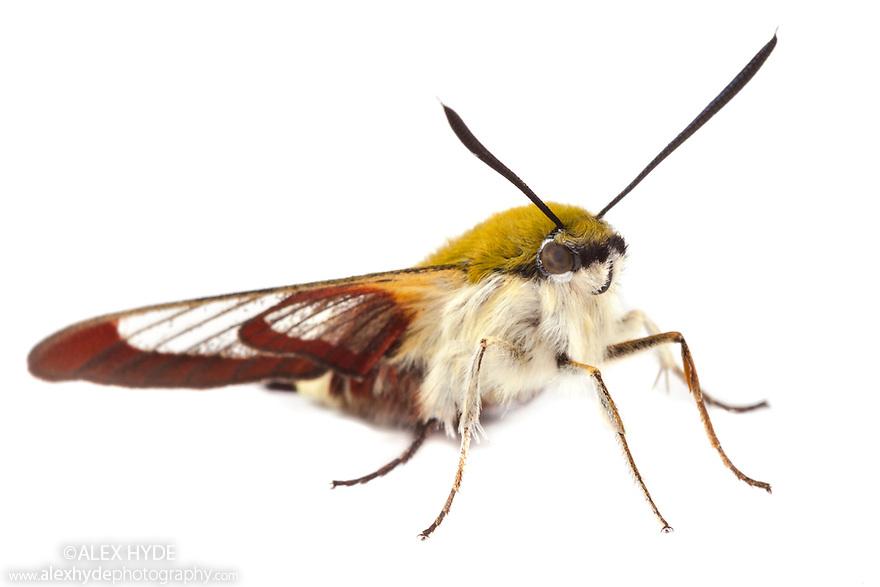 Broad-bordered Bee Hawkmoth {Hemaris fuciformis}, photographed in mobile field studio on a white background. Surrey, UK. June.