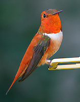 Adult male rufous hummingbird