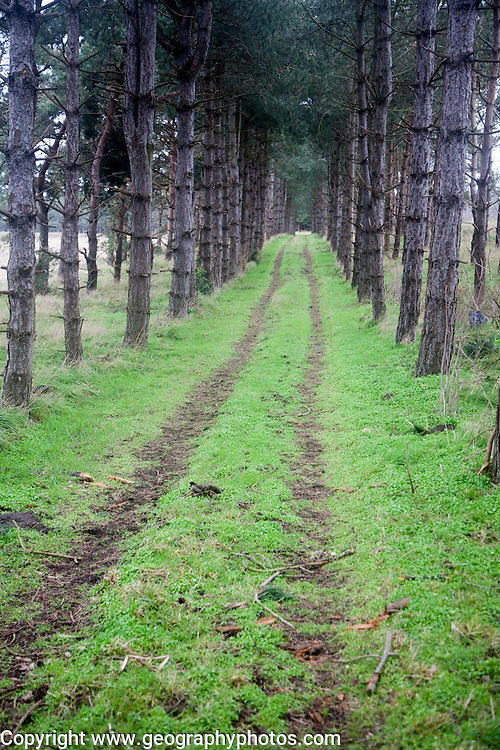 Grassy pathway through conifer trees into the distance, Suffolk, England