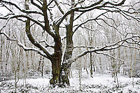 Snow covered trees on Hampstead Heath, London, United Kingdom
