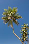 Bahia State, Brazil. Serra Grande beach (Praia da Pe, Pe de Serra Grande); palm trees against a blue sky.