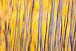 Abstract with yellow aspen trees with silver trunks