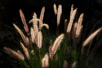 Ornamental grass.