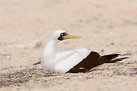 Masked Booby (Sula dactylatra) incubating at nest. Dry Tortugas National Park, Florida. March.