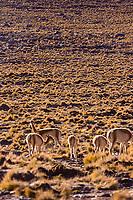Chile,vicuna in the Puna de Atacama