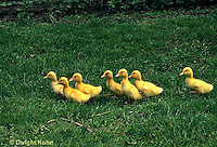 DG10-051x  Pekin Duck - four day old ducklings following mother - imprinting