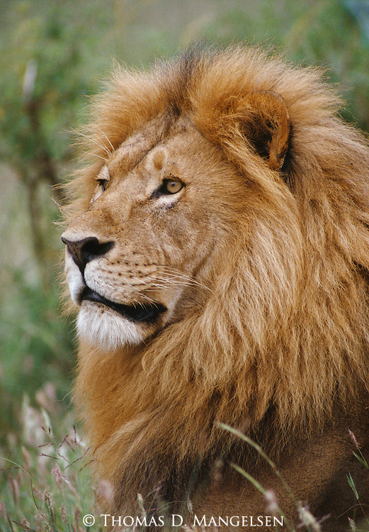 Portrait of a male lion sitting on the savannah in Maasai Mara, Kenya.