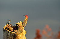 Red-bellied Woodpecker, Green Cay, Delray Beach, FL, United States