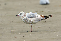 First-cycle ring-billed gull