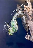 Große Königslibelle, Grosse Königs-Libelle, beim Schlupf, Schlupfserie, Larve schlüpft aus ihrer Larvenhaut, Exuvie, Metamorphose, Anax imperator, Emperor Dragonfly, L´Anax empereur, Edellibelle, Aeshnidae, Edellibellen, Aeschnidae, hawkers, darners