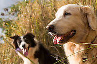 A Golden Retriever and a Border Collie take a break from a dog walk in Pupukea, North Shore of Oahu