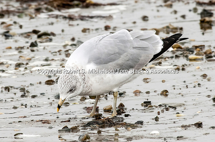 Ring-billed Gull searching for food while over-wintering in Hingham, Massachusetts