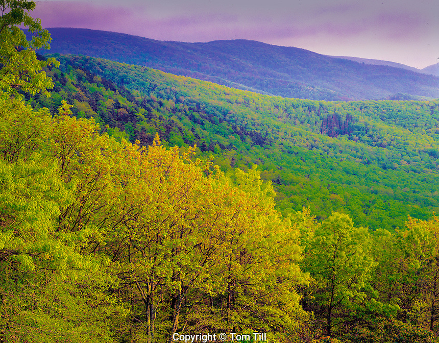 Lush spring greenery, Shenendoah National Park, Virginia  Skyline Drive  Appalachian Mountains
