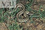 Checkered Garter Snake (Thamnophis marcianus) Arizona, USA