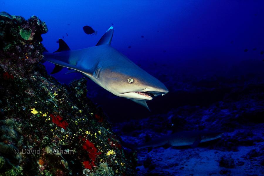 A whitetip reef shark, Triaenodon obesus, cruises close to the reef at Molokini Island, Hawaii.