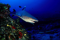 A whitetip reef shark, Triaenodon obesus, cruises close to the reef at Molokini Island, Hawaii.