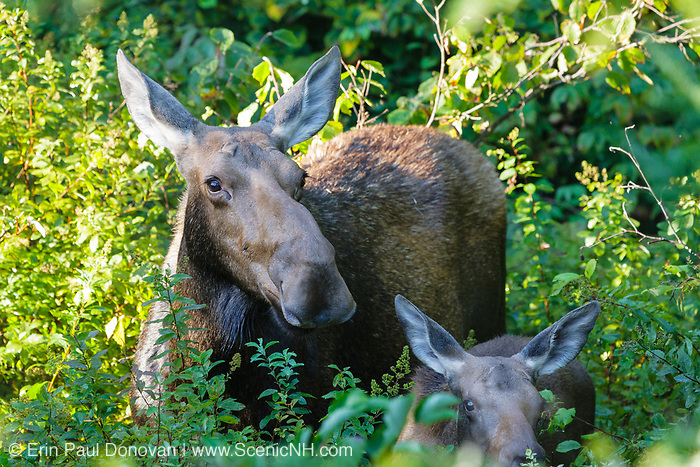 Moose and calf on the side of  the Kancamagus Highway (route 112), which is one of New England's scenic byways in the White Mountains, New Hampshire USA