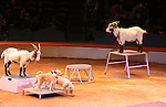 """Goats and dogs at the Big Apple Circus """"Dance On"""" on November 18, 2010 at Lincoln Center, New York City, New York. Louise's favorite part of the circus was the chorus line of miniature horses, a big horse, dogs and goats along with all the other acts.  (Photo by Sue Coflin/Max Photos)"""