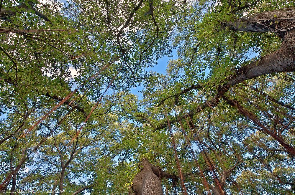 Banyan Canopy