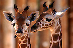pvcBabygiraffes1/7-31-03/jp3/asec.  Two yet unnamed male baby reticulated giraffes at the Rio Grande Zoo, one born June 1st to its mother named