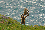 2 juvenile Barbary Macaques playing acrobatic games on Rock of Gibraltar,with Mediterranean Sea below.