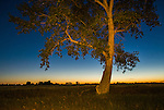 Tree silhouette against the twilight on the prairie, in rural Ward County, North Dakota