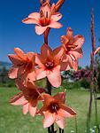 Orange Watsonia flowers