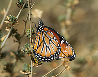 Queen butterfly (Danaus gilippus).  Southern California Sonoran Desert.  Queen butterflies are found across the southern U.S. south to Argentina.