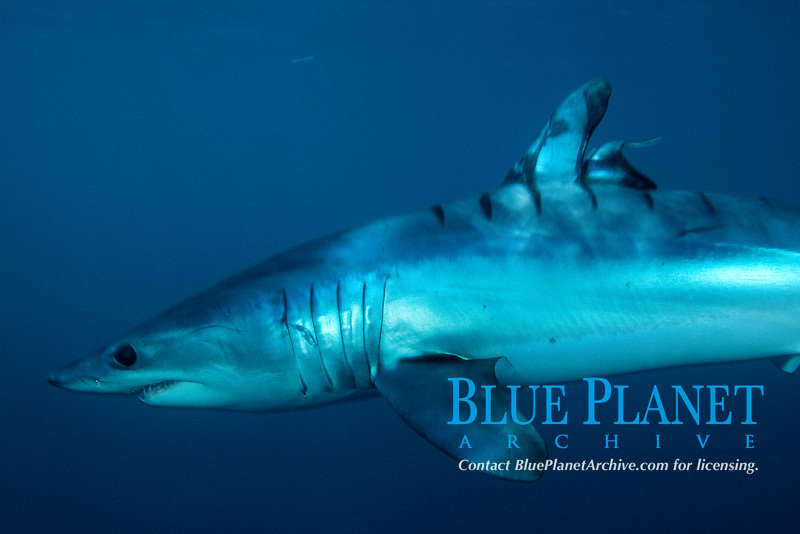 mako shark, Isurus oxyrinchus, wounded by boat propeller, La Jolla, California, USA, East Pacific Ocean