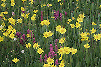 Wildflowers in alpine meadow,Heartleaf Arnica,Arnica cordifolia,Indian Paintbrush, Bistort, Ouray, San Juan Mountains, Rocky Mountains, Colorado, USA